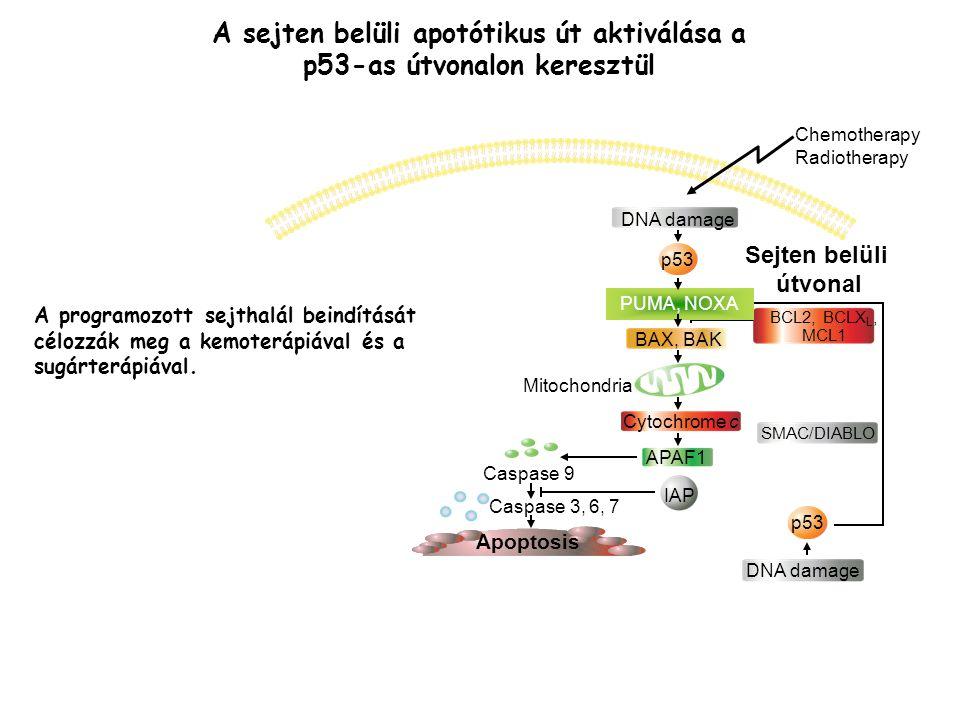 A sejten belüli apotótikus út aktiválása a p53-as útvonalon keresztül