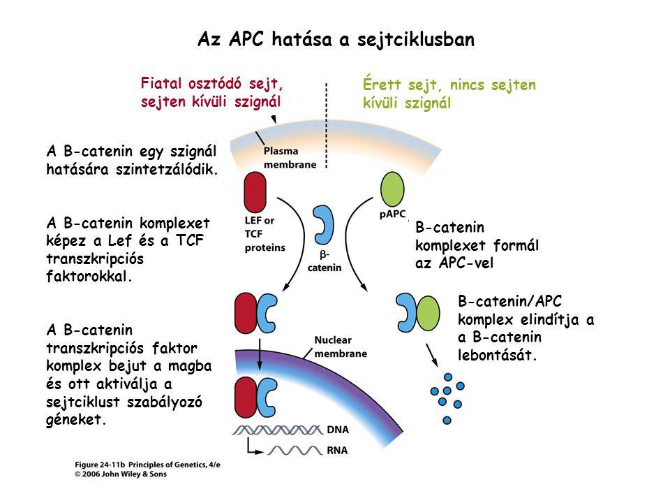 Az APC hatása a sejtciklusban