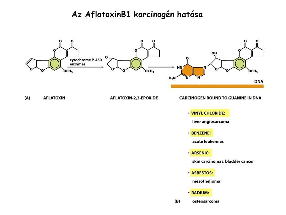 Az AflatoxinB1 karcinogén hatása