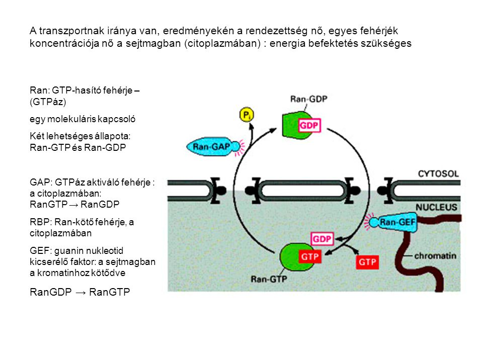 A transzportnak iránya van, eredményekén a rendezettség nő, egyes fehérjék koncentrációja nő a sejtmagban (citoplazmában) : energia befektetés szükséges