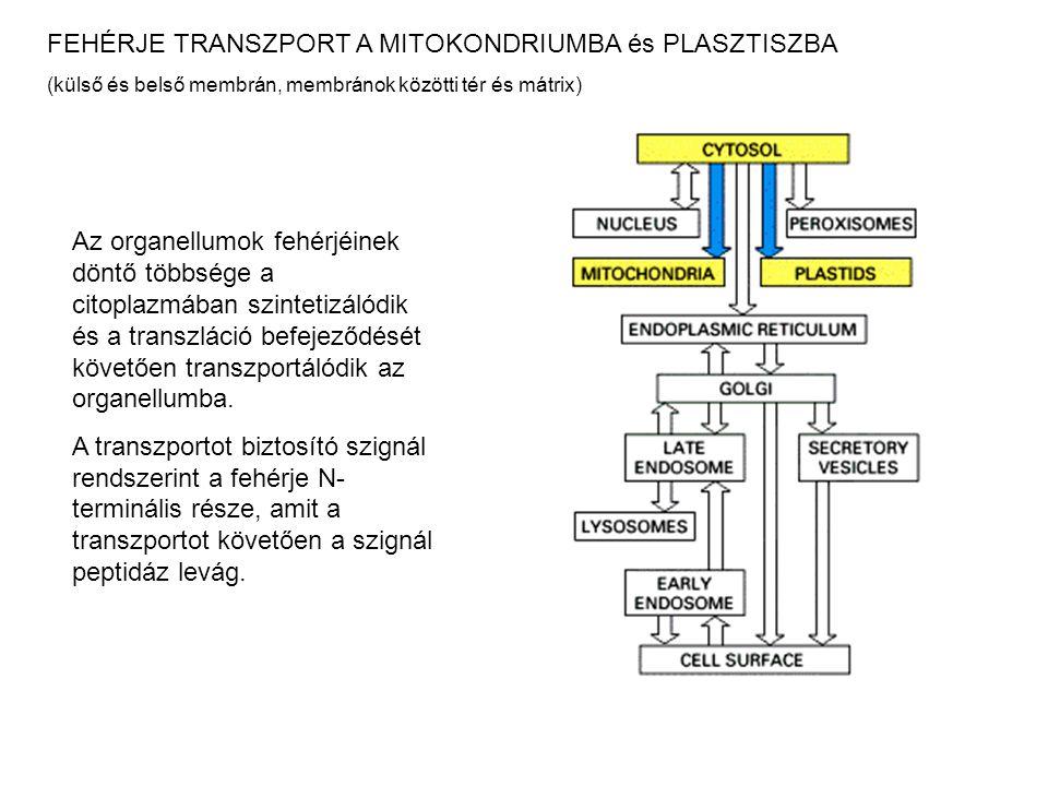 FEHÉRJE TRANSZPORT A MITOKONDRIUMBA és PLASZTISZBA