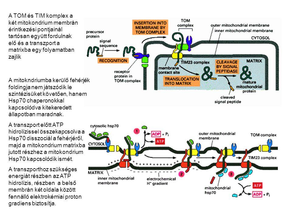 A TOM és TIM komplex a két mitokondrium membrán érintkezési pontjainál tartósan együtt fordulnak elő és a transzport a matrixba egy folyamatban zajlik