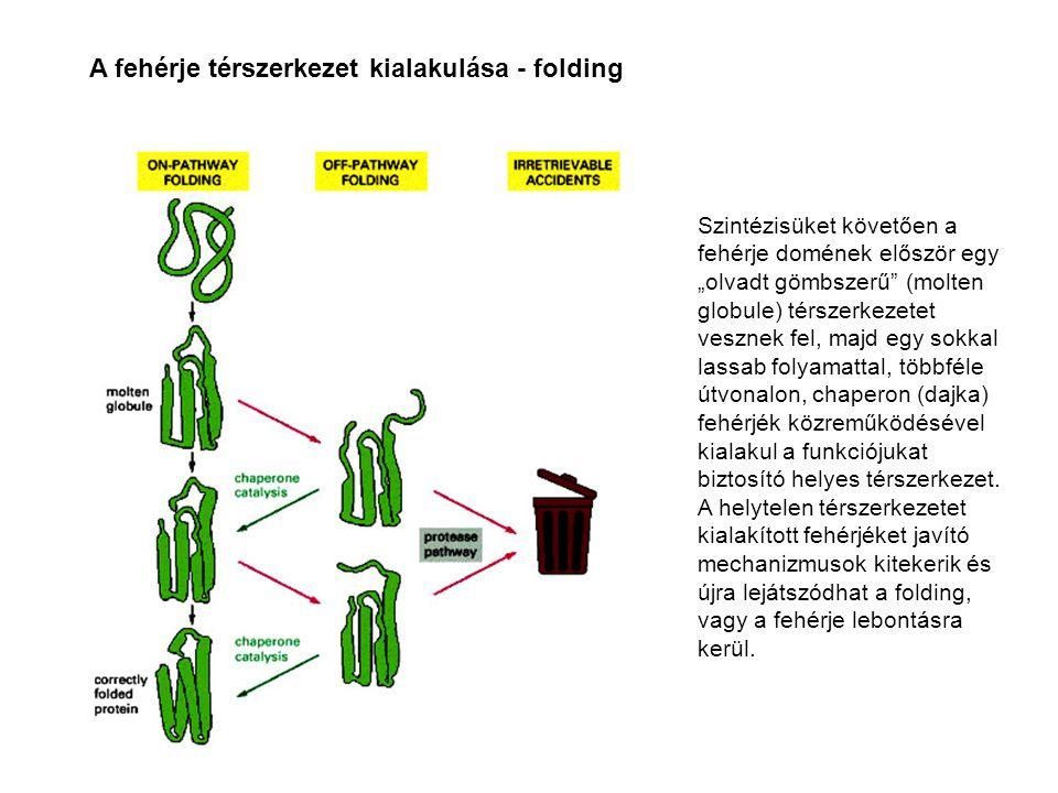 A fehérje térszerkezet kialakulása - folding