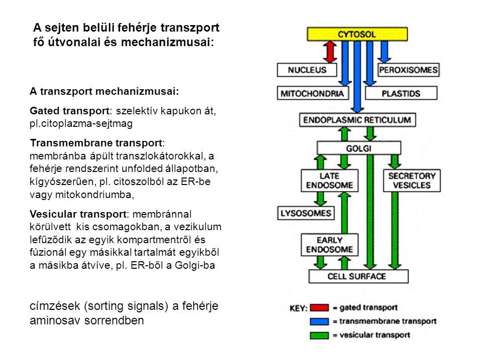 A sejten belüli fehérje transzport fő útvonalai és mechanizmusai: