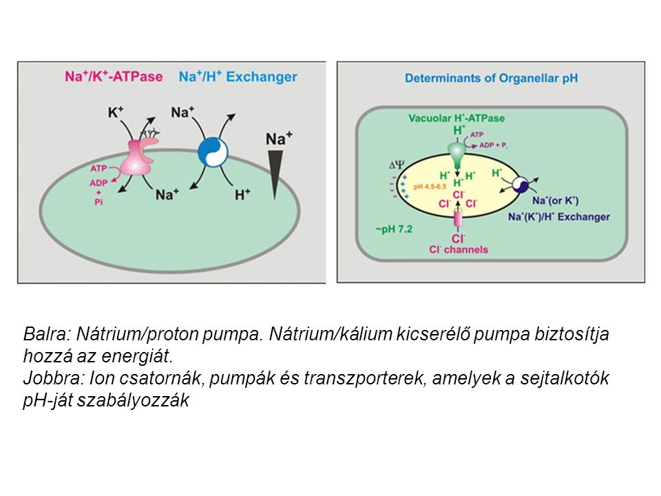 Balra: Nátrium/proton pumpa