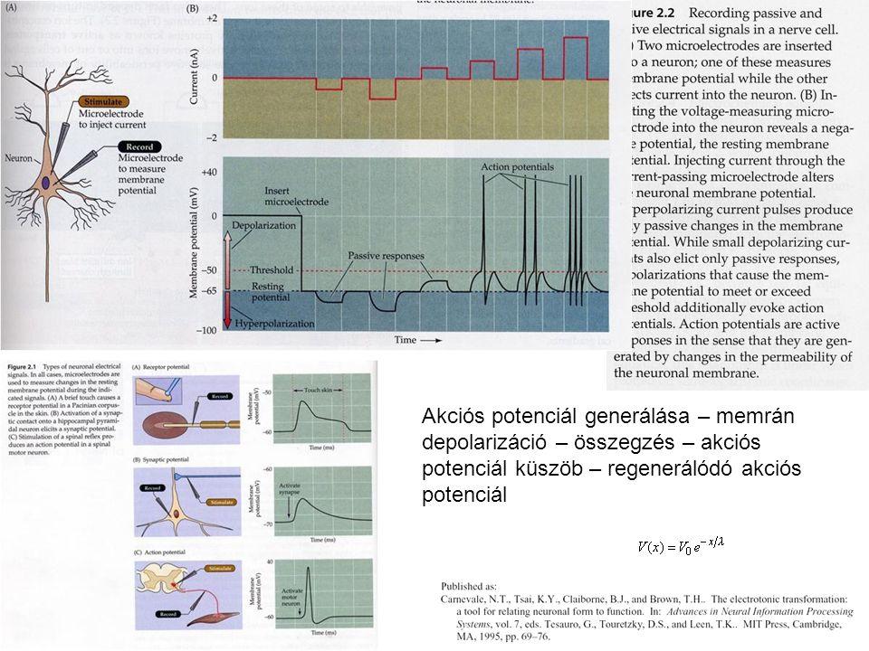 Akciós potenciál generálása – memrán depolarizáció – összegzés – akciós potenciál küszöb – regenerálódó akciós potenciál