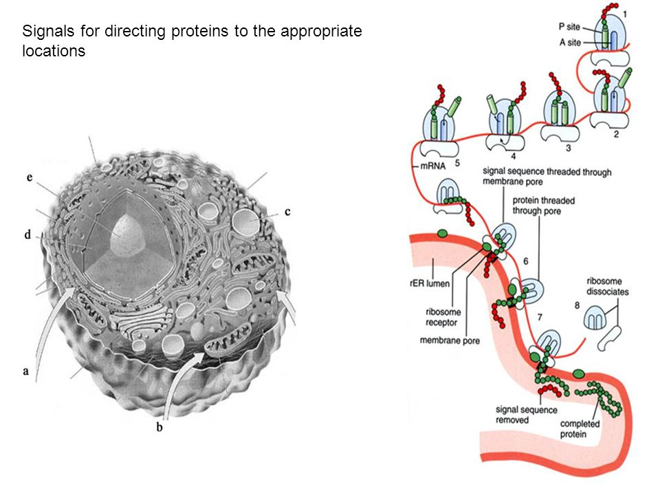 Signals for directing proteins to the appropriate locations