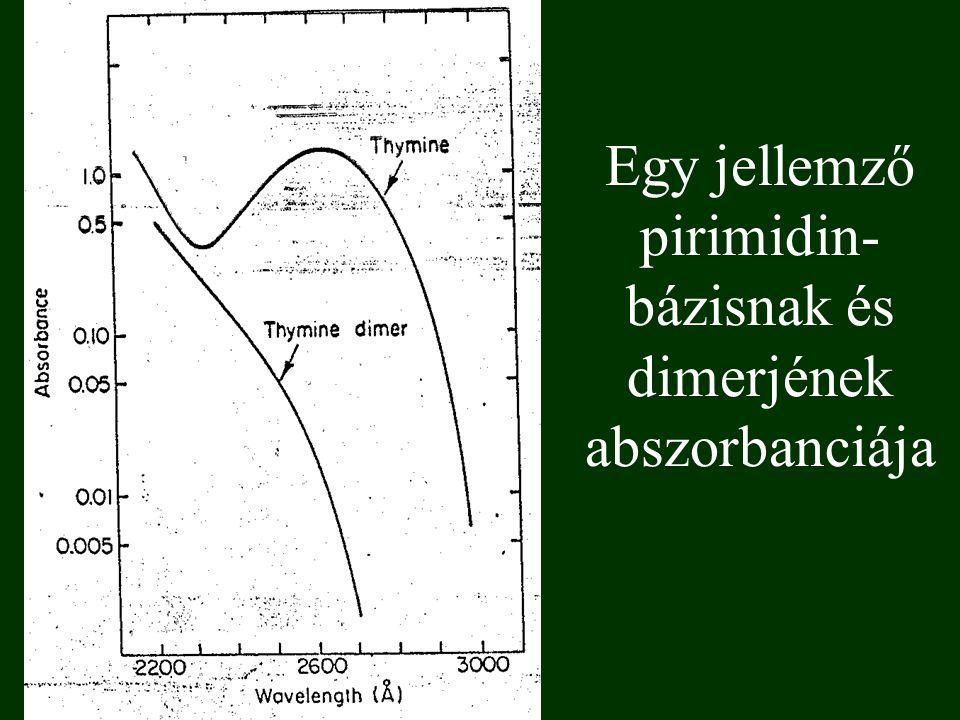 Egy jellemző pirimidin-bázisnak és dimerjének abszorbanciája