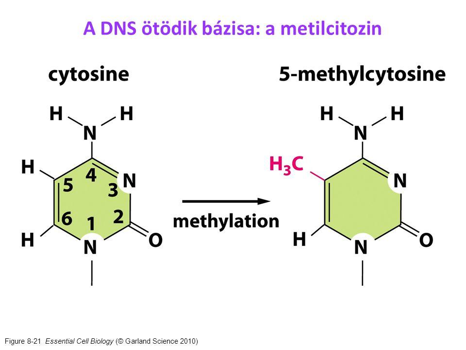 A DNS ötödik bázisa: a metilcitozin