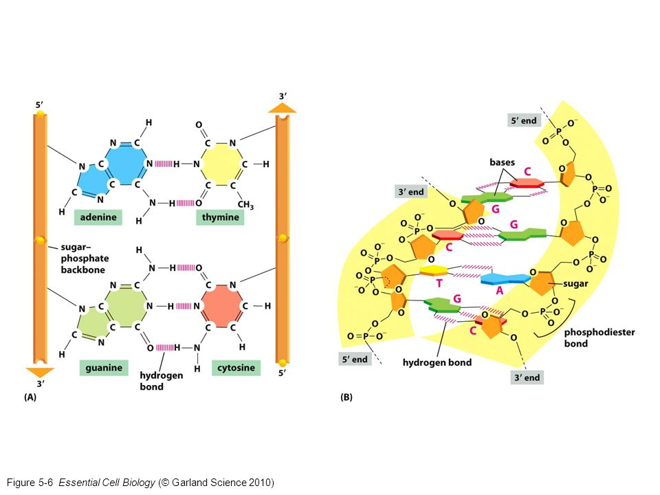 Figure 5-6 Essential Cell Biology (© Garland Science 2010)