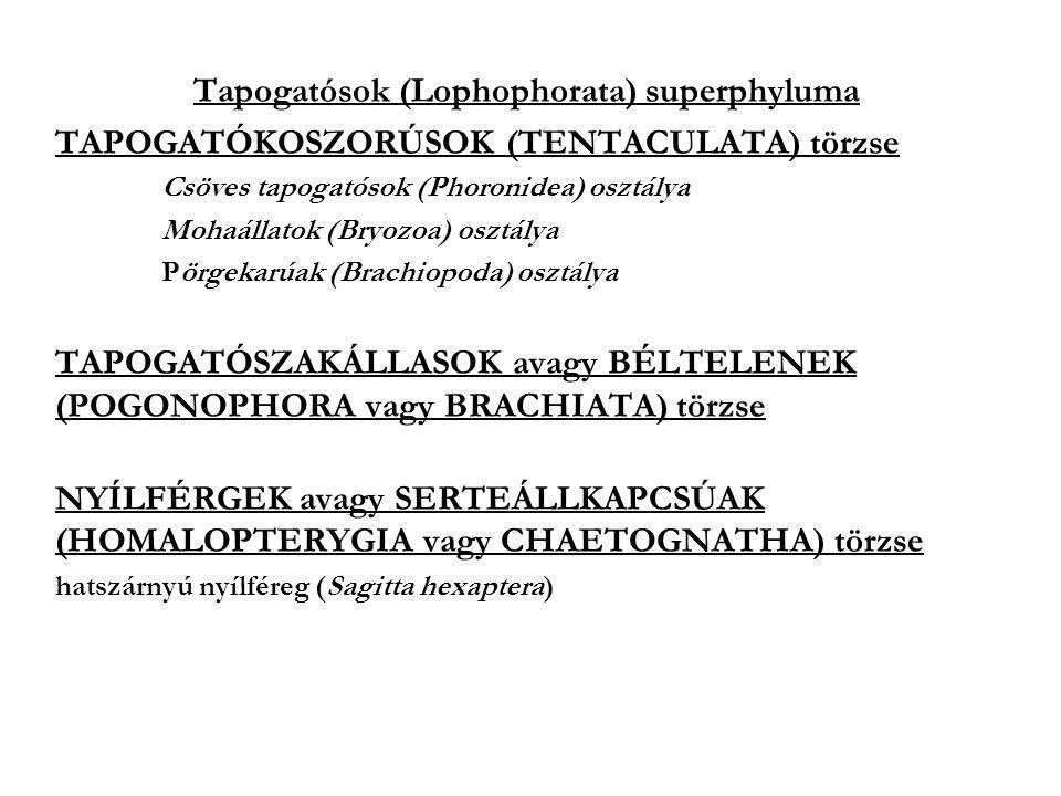 Tapogatósok (Lophophorata) superphyluma