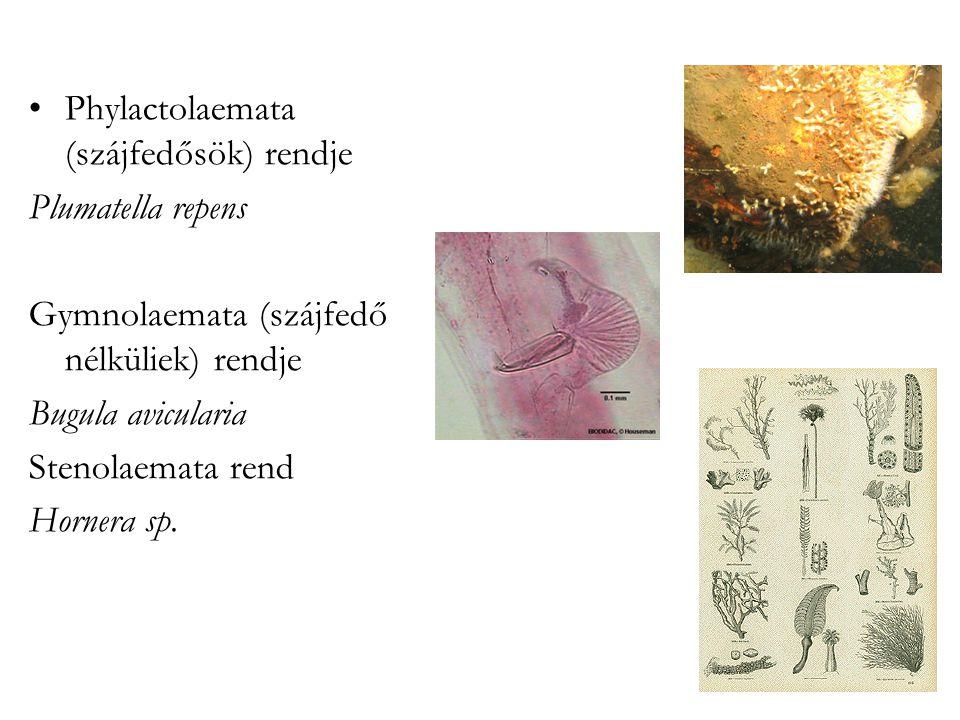 Phylactolaemata (szájfedősök) rendje