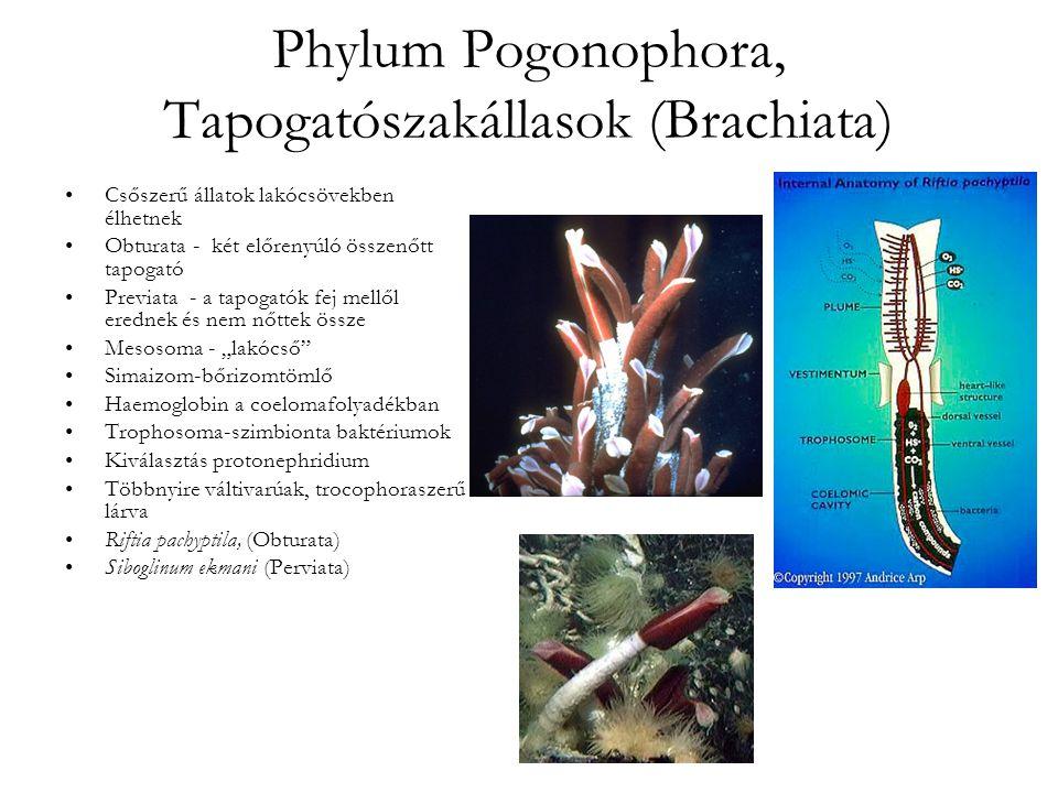 Phylum Pogonophora, Tapogatószakállasok (Brachiata)
