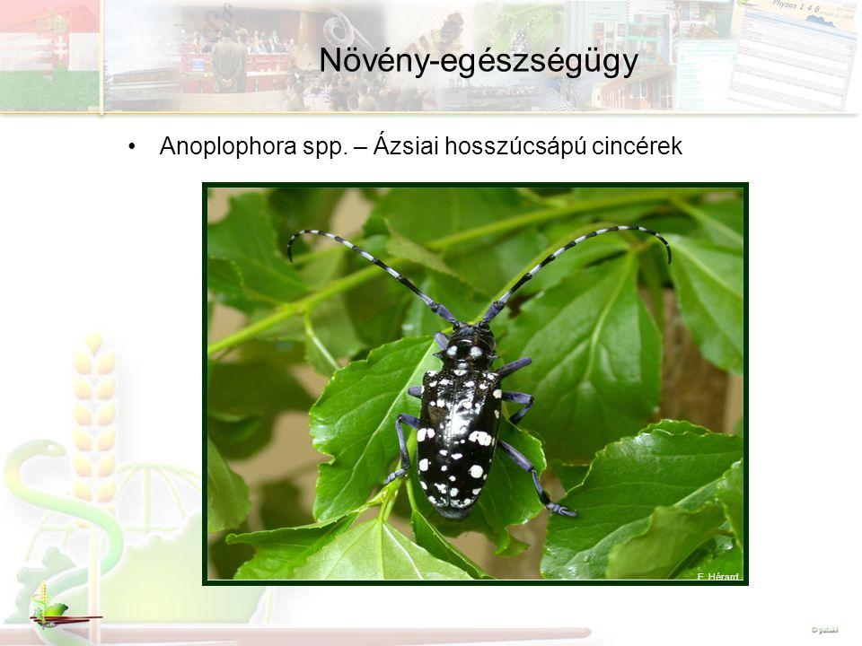 Növény-egészségügy Anoplophora spp. – Ázsiai hosszúcsápú cincérek