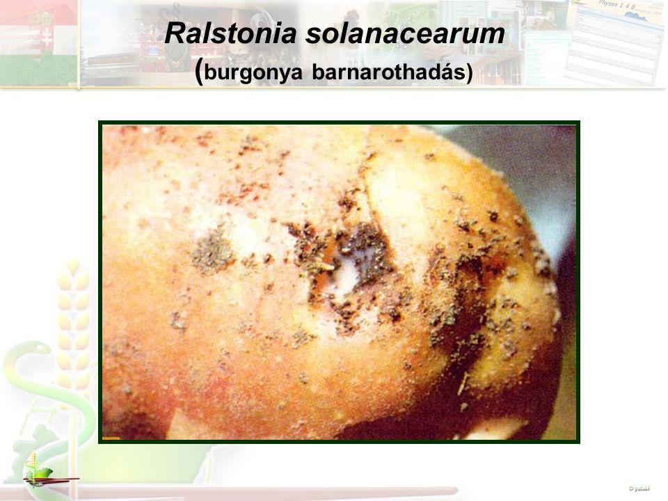 Ralstonia solanacearum (burgonya barnarothadás)