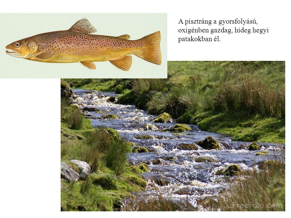 A pisztráng a gyorsfolyású, oxigénben gazdag, hideg hegyi patakokban él.