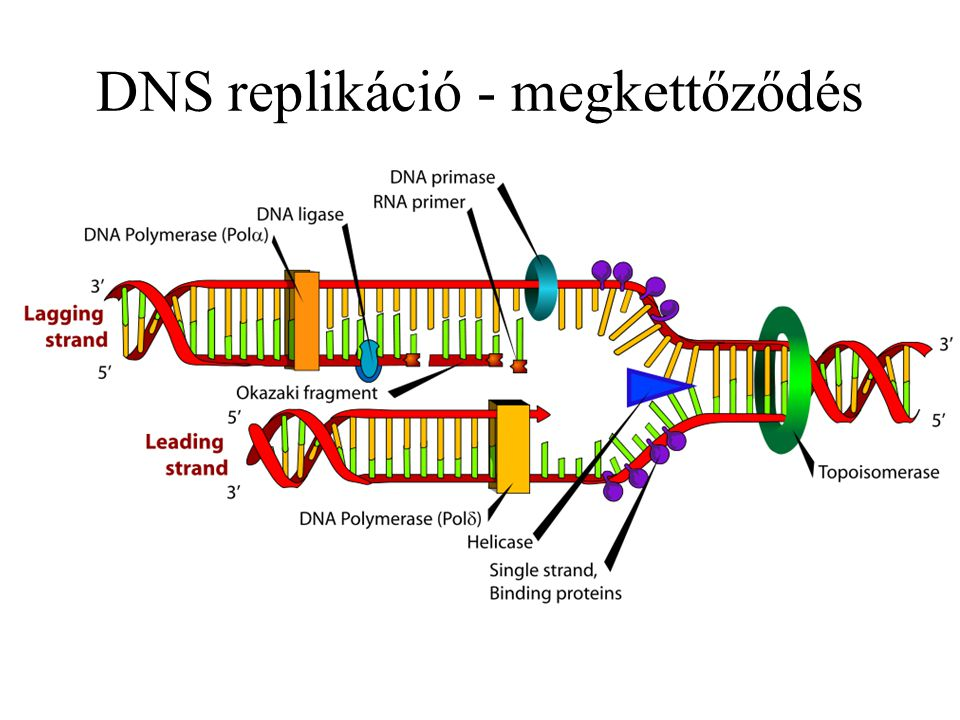 DNS replikáció - megkettőződés