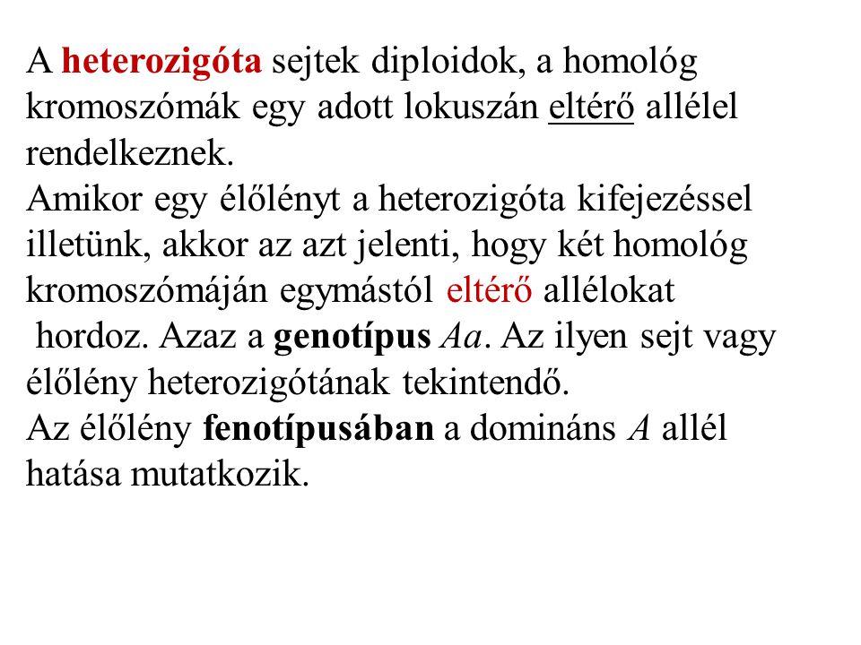 A heterozigóta sejtek diploidok, a homológ kromoszómák egy adott lokuszán eltérő allélel rendelkeznek.