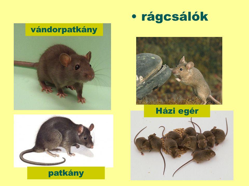 rágcsálók vándorpatkány Házi egér patkány