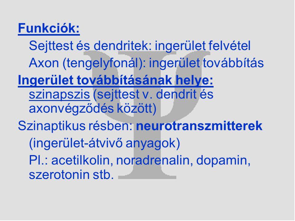 Funkciók: Sejttest és dendritek: ingerület felvétel. Axon (tengelyfonál): ingerület továbbítás.