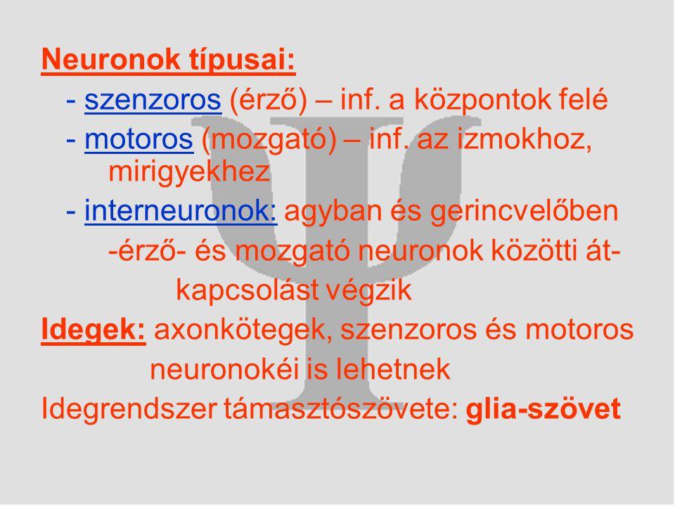 Neuronok típusai: - szenzoros (érző) – inf. a központok felé. - motoros (mozgató) – inf. az izmokhoz, mirigyekhez.