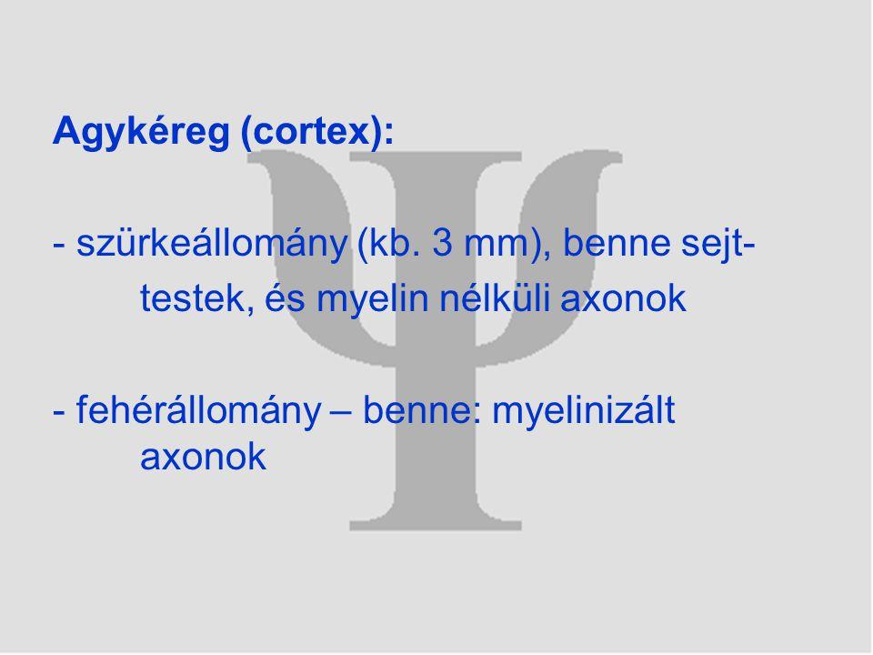 Agykéreg (cortex): - szürkeállomány (kb. 3 mm), benne sejt- testek, és myelin nélküli axonok.