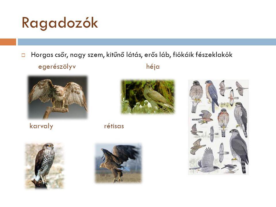 Ragadozók Horgas csőr, nagy szem, kitűnő látás, erős láb, fiókáik fészeklakók. egerészölyv héja.