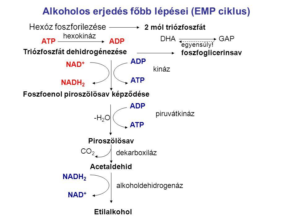 Alkoholos erjedés főbb lépései (EMP ciklus)