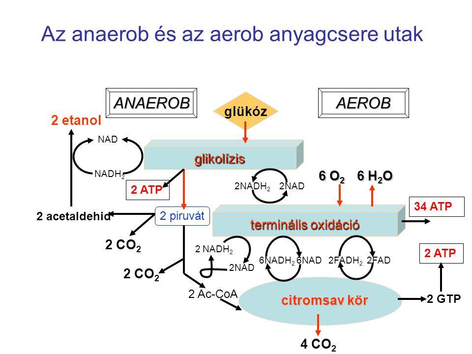 Az anaerob és az aerob anyagcsere utak