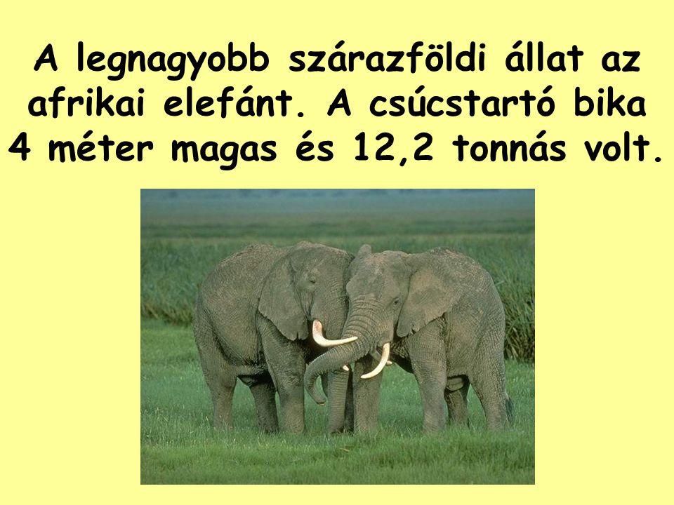 A legnagyobb szárazföldi állat az afrikai elefánt