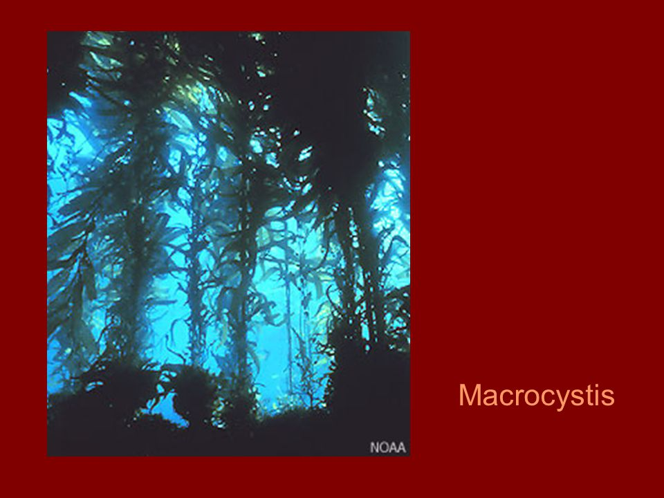 Macrocystis