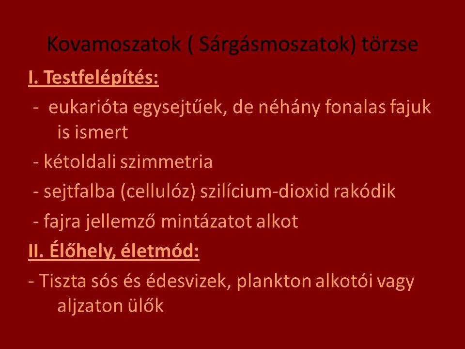 Kovamoszatok ( Sárgásmoszatok) törzse