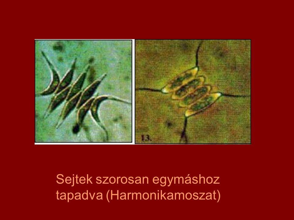 Sejtek szorosan egymáshoz tapadva (Harmonikamoszat)