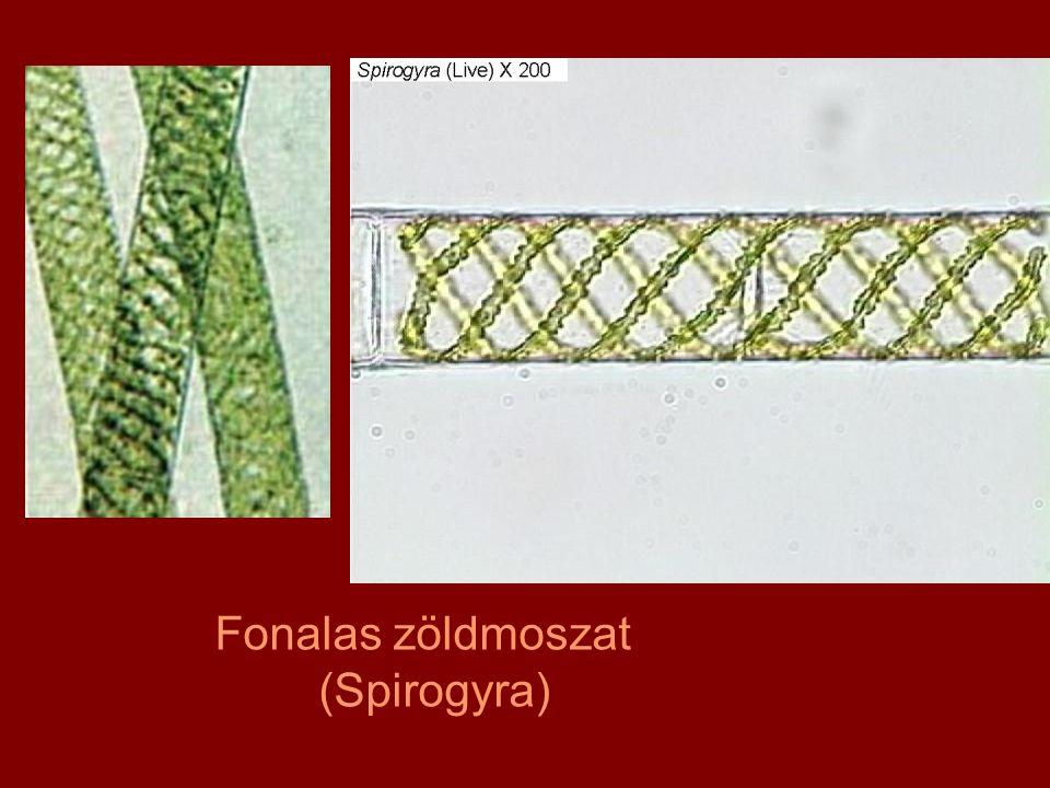 Fonalas zöldmoszat (Spirogyra)