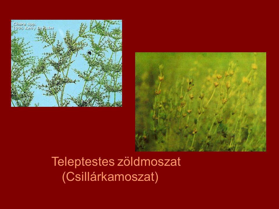 Teleptestes zöldmoszat