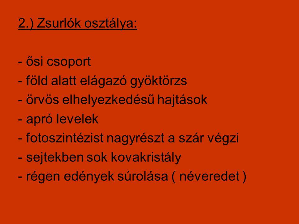 2.) Zsurlók osztálya: - ősi csoport. - föld alatt elágazó gyöktörzs. - örvös elhelyezkedésű hajtások.