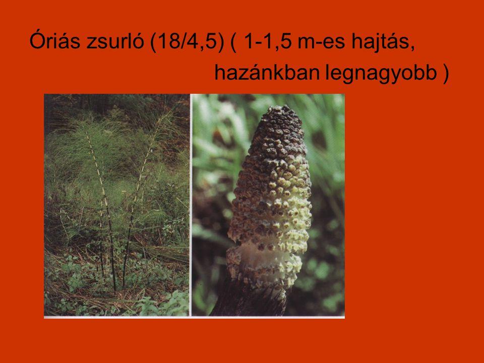 Óriás zsurló (18/4,5) ( 1-1,5 m-es hajtás,