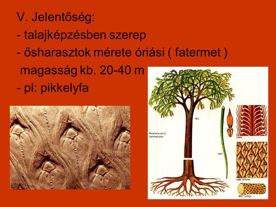 V. Jelentőség: - talajképzésben szerep. - ősharasztok mérete óriási ( fatermet ) magasság kb. 20-40 m.