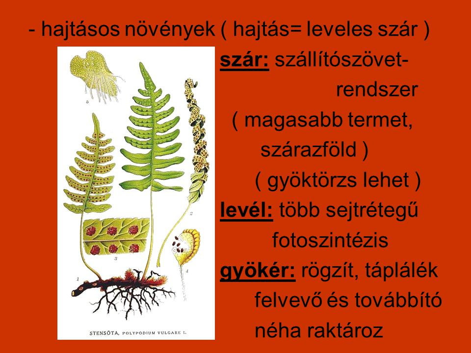 - hajtásos növények ( hajtás= leveles szár )