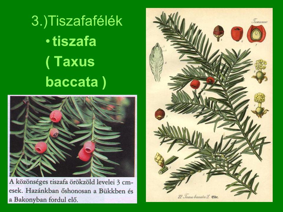 3.)Tiszafafélék tiszafa ( Taxus baccata )