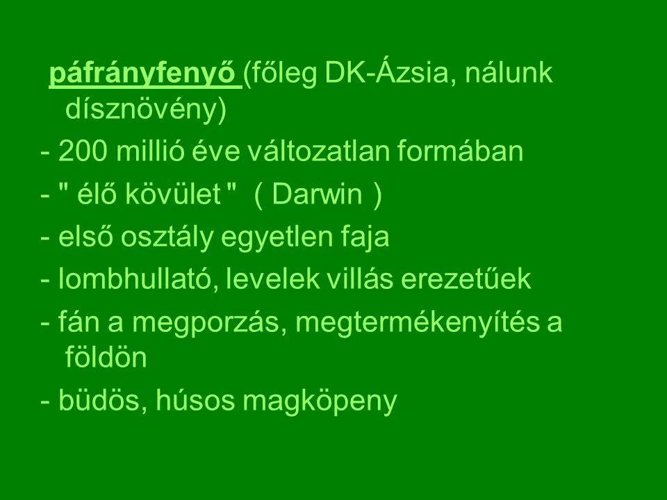 páfrányfenyő (főleg DK-Ázsia, nálunk dísznövény)