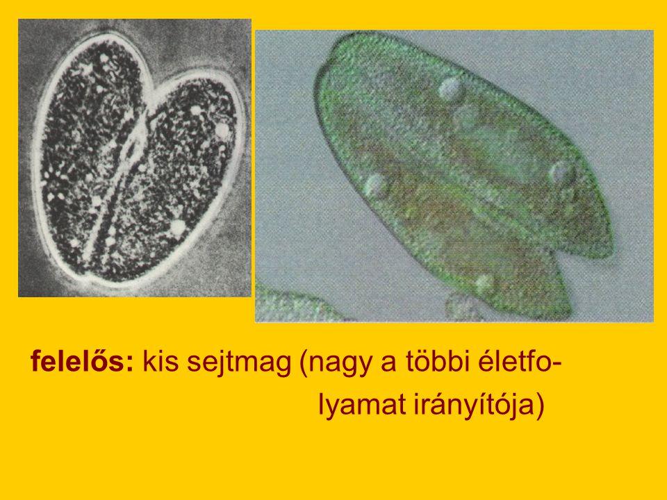 felelős: kis sejtmag (nagy a többi életfo-