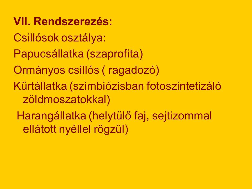 VII. Rendszerezés: Csillósok osztálya: Papucsállatka (szaprofita) Ormányos csillós ( ragadozó)