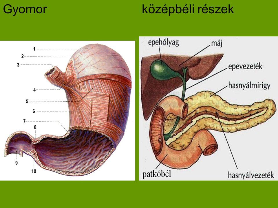 Gyomor középbéli részek