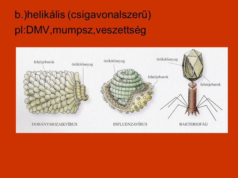 b.)helikális (csigavonalszerű)