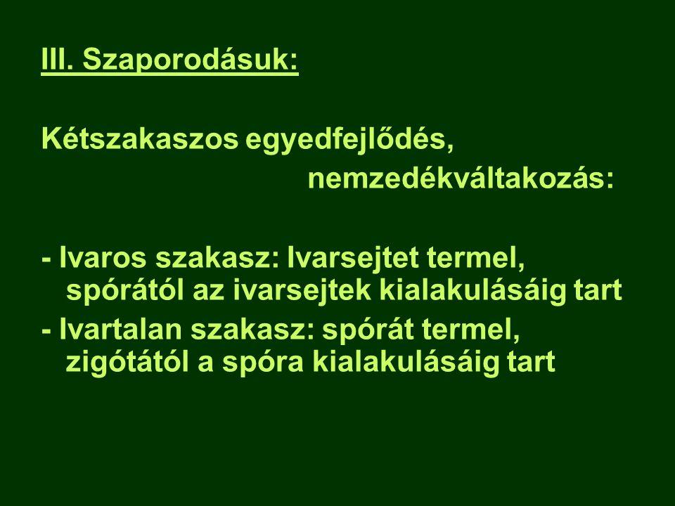 III. Szaporodásuk: Kétszakaszos egyedfejlődés, nemzedékváltakozás: - Ivaros szakasz: Ivarsejtet termel, spórától az ivarsejtek kialakulásáig tart.