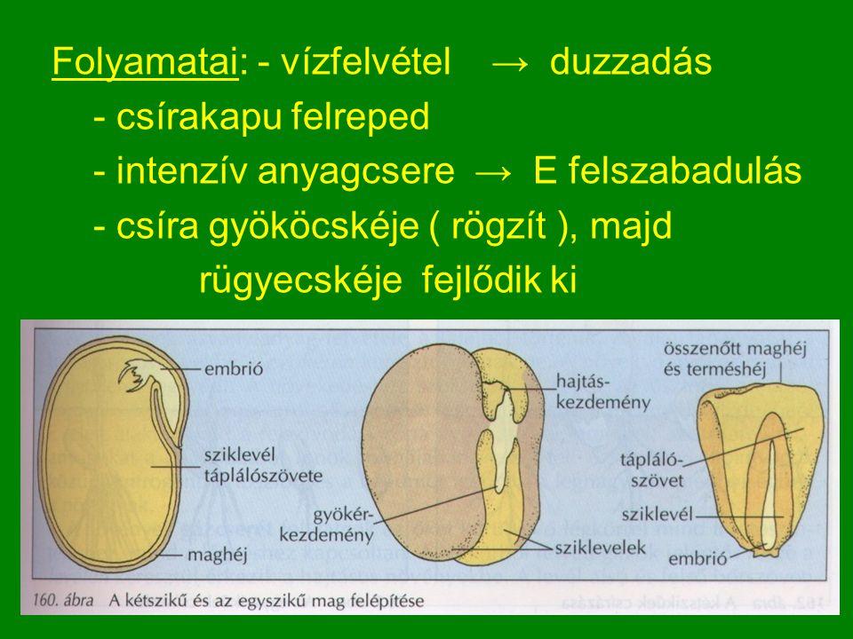 Folyamatai: - vízfelvétel → duzzadás - csírakapu felreped - intenzív anyagcsere → E felszabadulás - csíra gyököcskéje ( rögzít ), majd rügyecskéje fejlődik ki