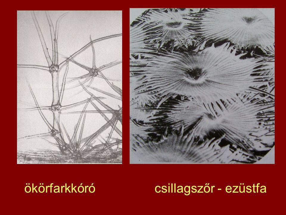 ökörfarkkóró csillagszőr - ezüstfa