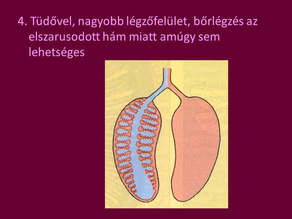 4. Tüdővel, nagyobb légzőfelület, bőrlégzés az elszarusodott hám miatt amúgy sem lehetséges