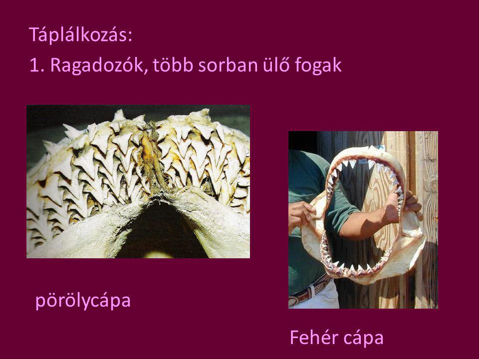 Táplálkozás: 1. Ragadozók, több sorban ülő fogak